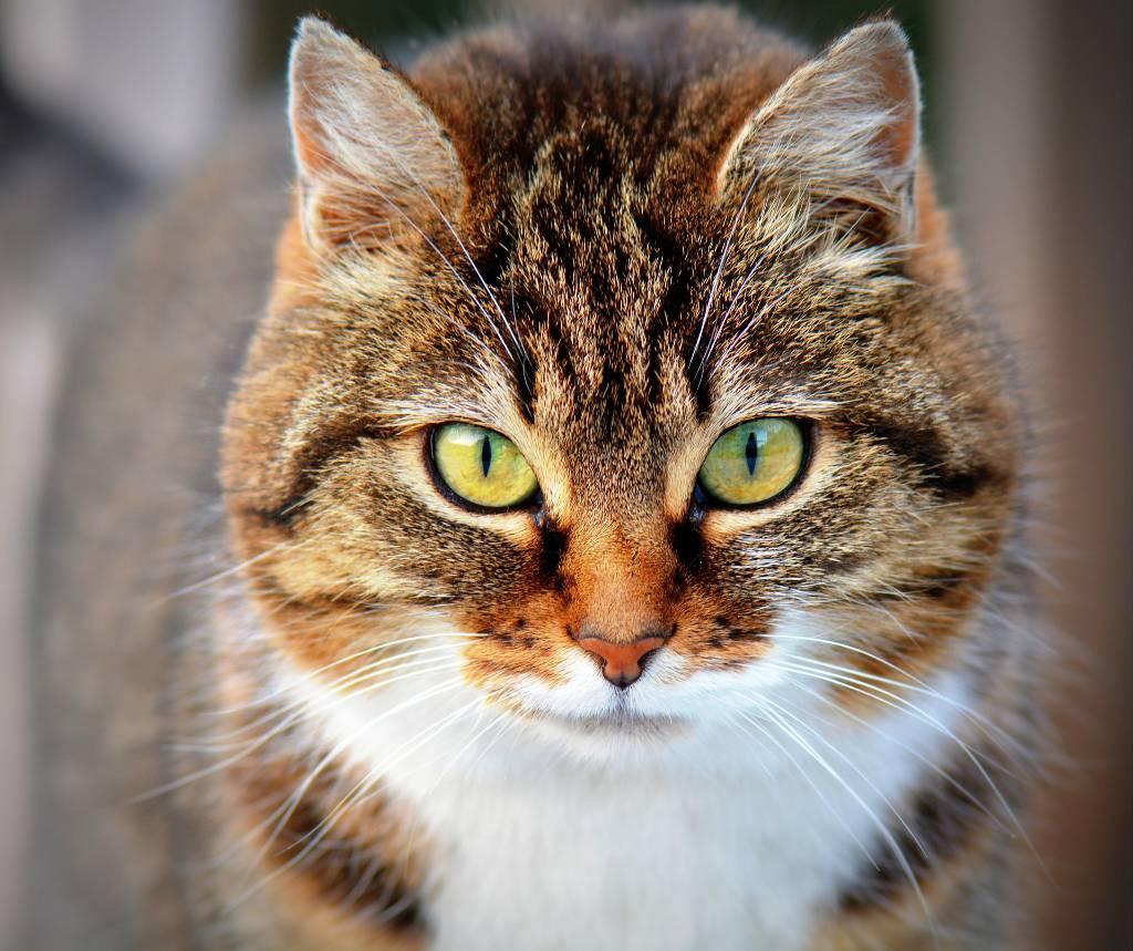 Frontline für Katzen hält Zecken fern